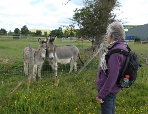 Donkeys at Iron Pear Tree Farm