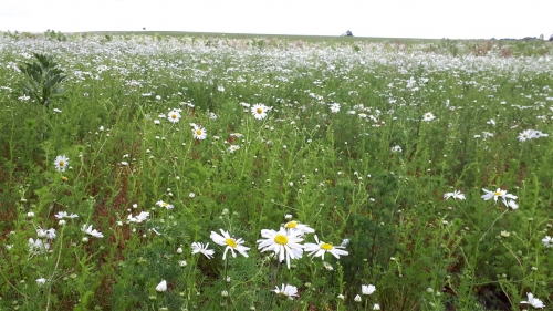 Scentless Mayweed -WJ