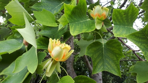 Tulip Tree Hillworth Park-WJ