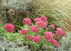 Beautiful sedum by Annette Vowden